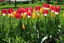 Kolorowe tulipany