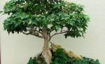 Drzewko bonsai w doniczce