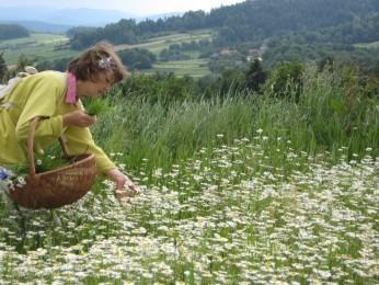 Kobieta zbiera zioła
