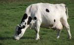 Krowa na łące