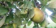 Jabłko na drzewie