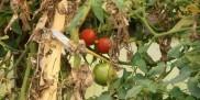 Pomidory na krzakach