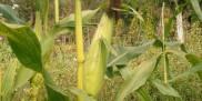 Kukurydza na polu
