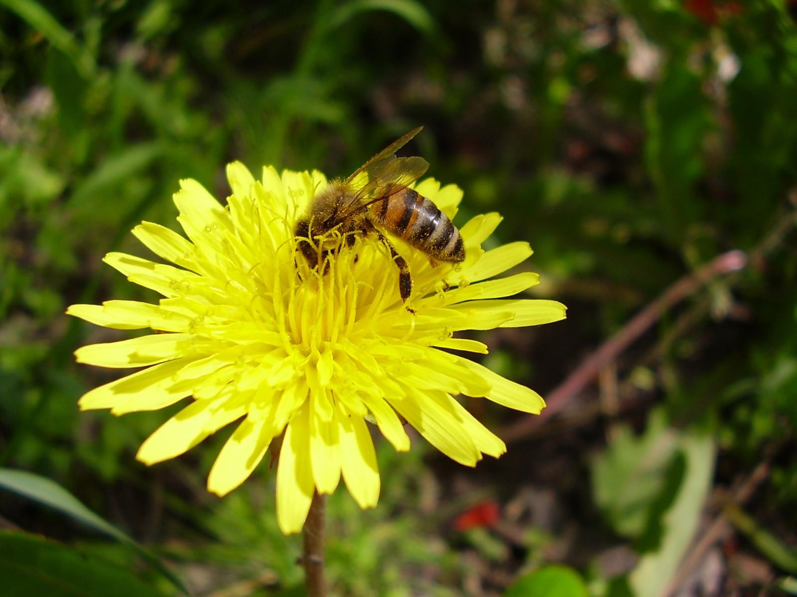 Pszczoła zbiera pyłek