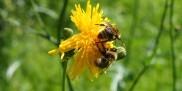 Pszczoły - pyłek pszczeli