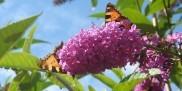 Roslina Budleja Dawida - motyle