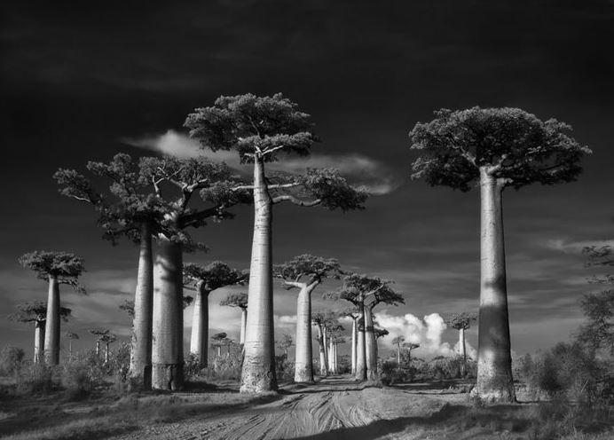 fot. Beth Moon, Drzewo