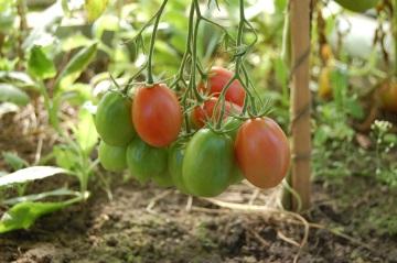 Szklarnia - pomidory
