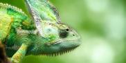 Naśladownictwo - kameleon