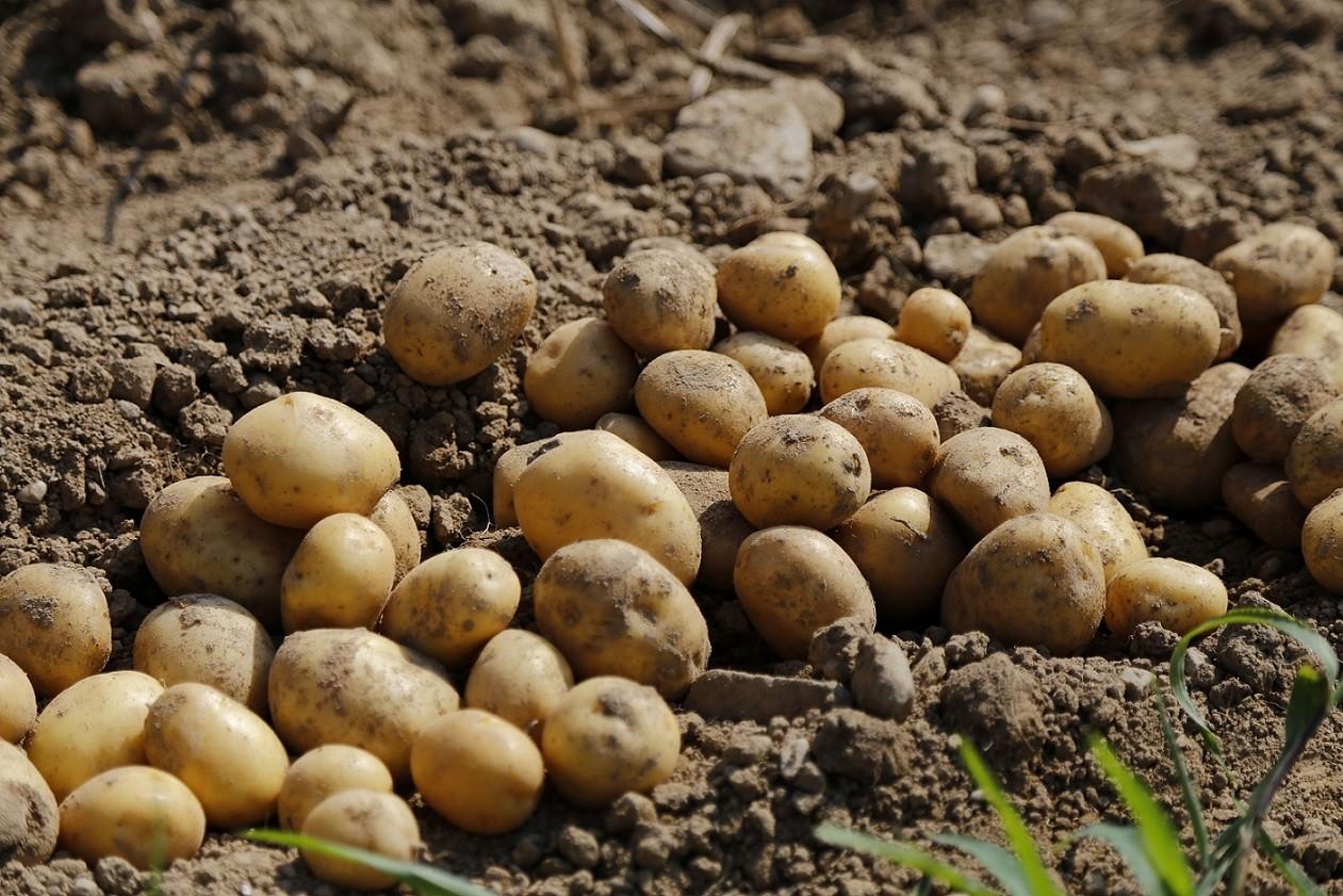 Ziemniaki - pestycydy