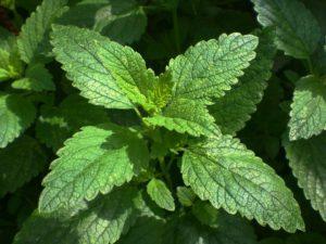 melisa zielona apteka