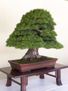 bonsai_drzewo_male_1