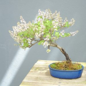 bonsai_kwitnace_1