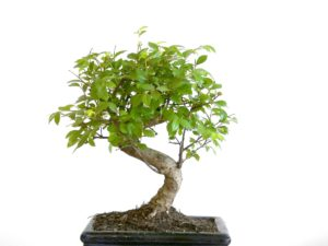 bonsai_male_1